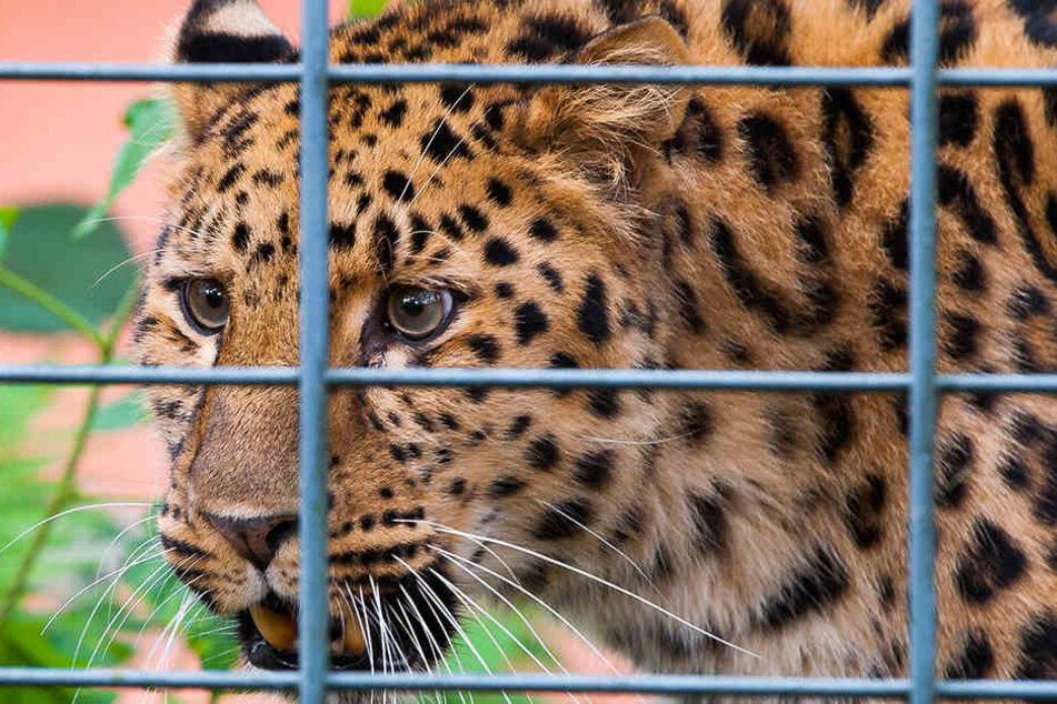 Amur-Leopard Timur (10) wohnt seit gestern im Amerika-Tierpark Limbach-Oberfrohna.