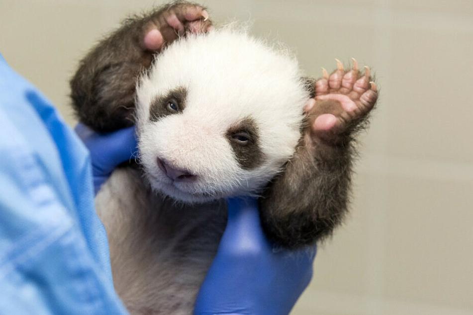 Die beiden Panda-Zwillinge haben erstmals die Augen geöffnet.