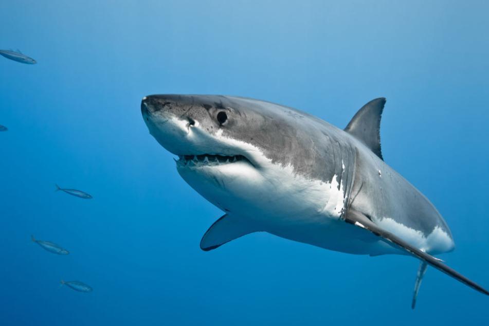 Hai-Alarm vor Mallorca: Forscher sichten Weißen Hai bei Balearen-Insel Cabrera