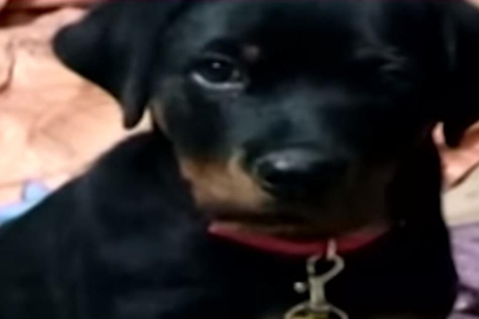 Dieser kleine Hund beschützte Kinder heldenhaft gegen eine Kobra.