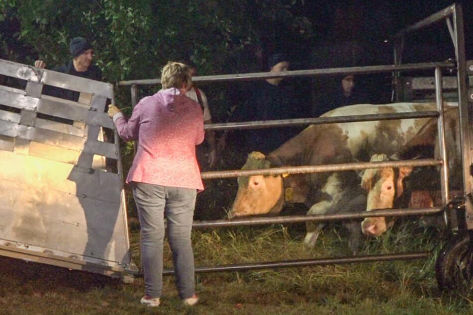 Die überlebenden Kühe werden von Helfern versorgt.