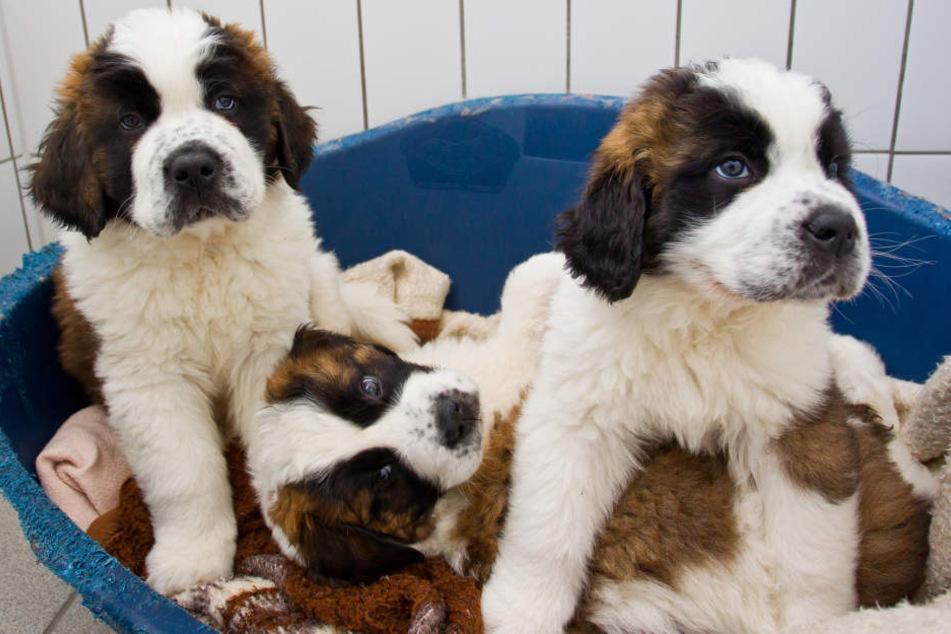 Bernhardiner-Welpen sitzen in einem Tierheim, nachdem sie aus einem illegalen Transporter gerettet wurden. (Symbolbild)