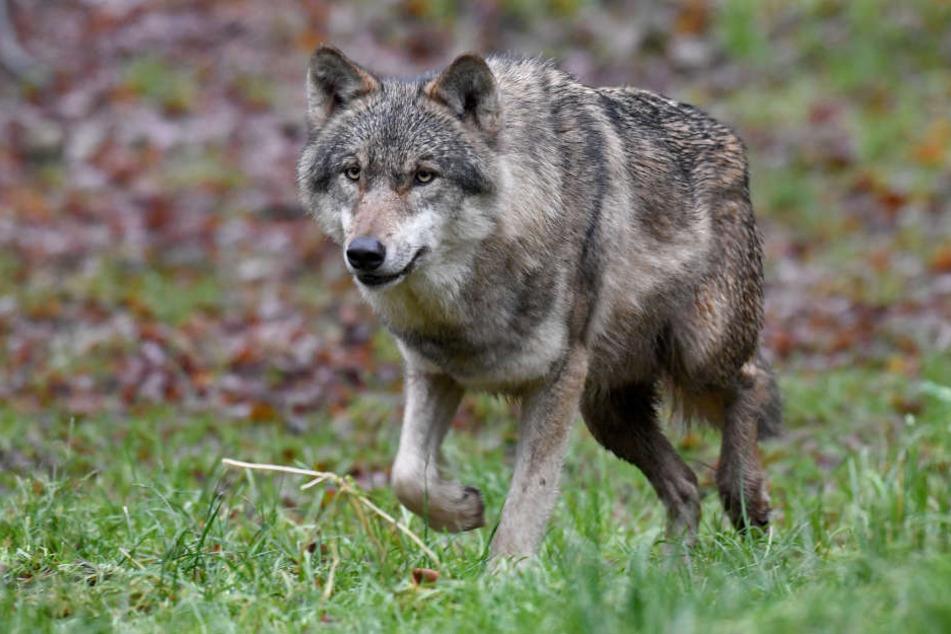 Offenbar tötete ein Wolf jetzt einen Hund in der Oberlausitz.