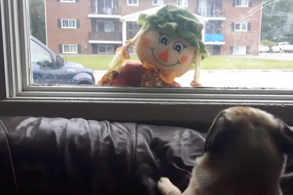 ALs die Vogelscheuche nach oben kommt, erschrickt sich der Hund.