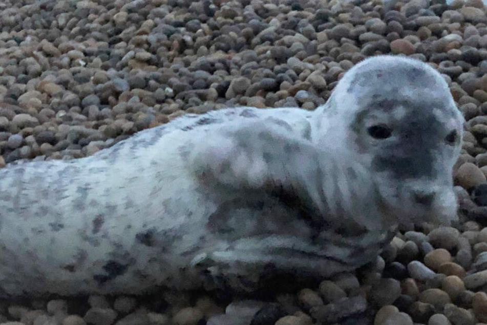 Eine einzige Qual: Das verletzte Robbenbaby hatte höllische Angst vor den Schaulustigen.