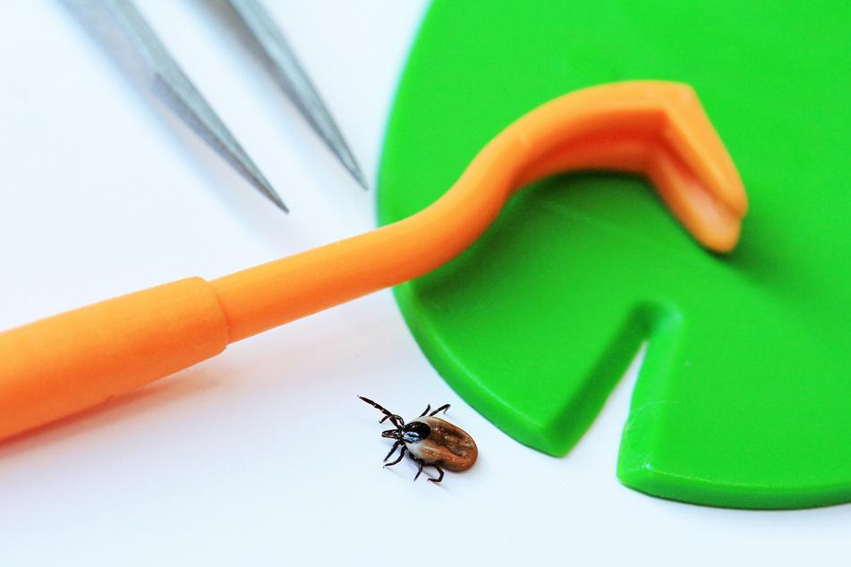 Egal, ob mit Pinzette, Zeckenzange oder Zeckenkarte: Hauptsache das Tier wird schnell aus dem Körper gezogen!