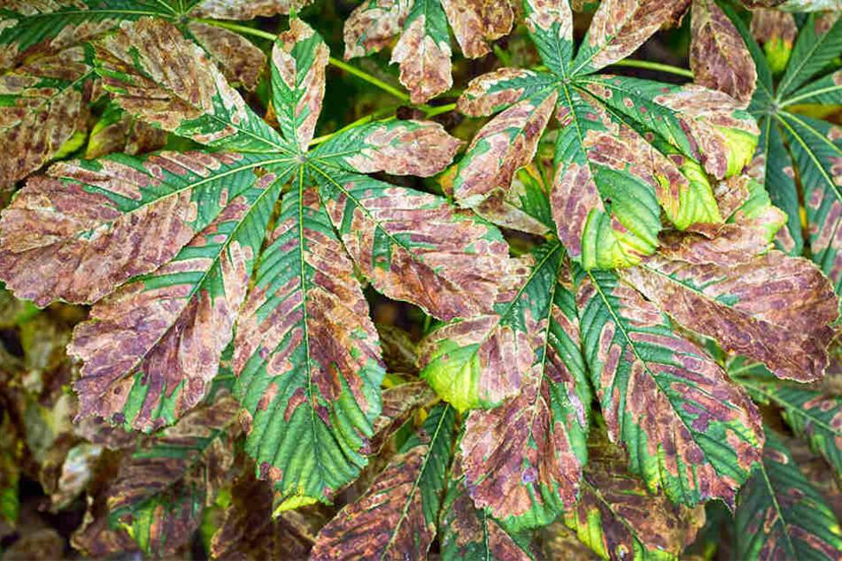 Erst werden die Blätter braun, dann fallen sie schon im Sommer ab.
