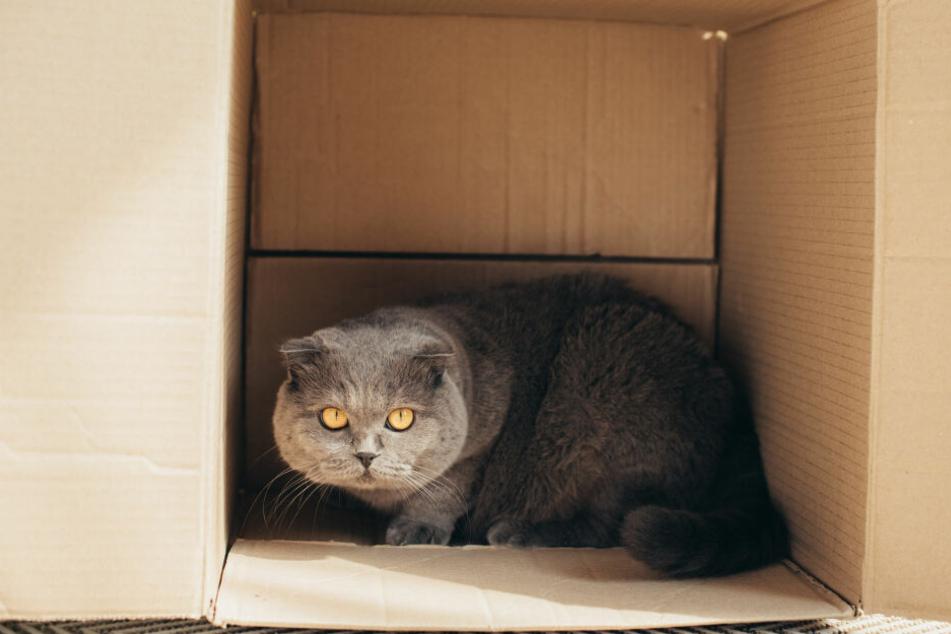 Empfinden Katzen Stress, ziehen sie sich gerne in eine Kiste zurück.