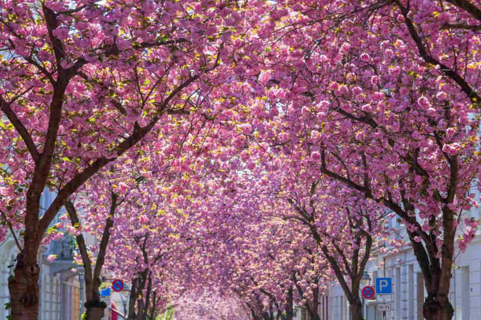 Bei Sonne wird die Kirschblüte in Bonn ein echter Hingucker.