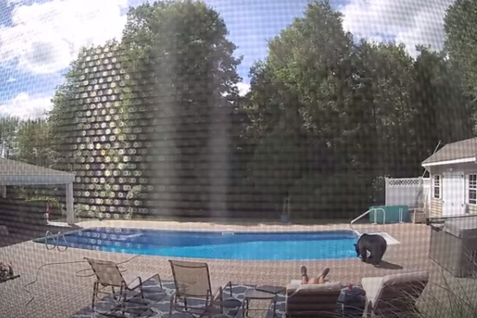 Before the bear even noticed the sleeping man, he first had a drink from the pool.