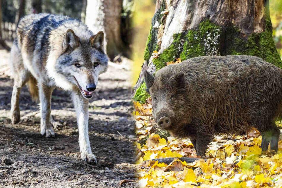 Wegen Sachsens Wölfen: Jetzt rotten sich schon die Rotten zusammen