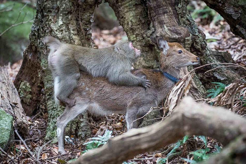 Nanu? Dieser Affe hat sich offenbar tierisch in eine Hirschkuh verliebt.