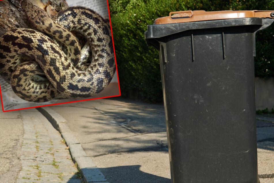Als die Frau aus Schauenburg (Nordhessen) ihre Mülltonne herausstellen wollte, bemerkte sie das etwa einen Meter lange Reptil.