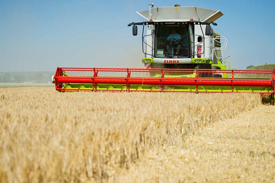 Durch den andauernden Regen wurde das Getreide auf den Feldern plattgedrückt.