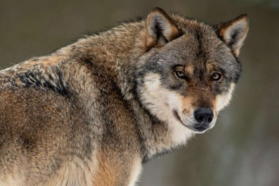 Wölfe waren für lange Zeit aus Deutschland vertrieben, siedeln sich aber in den letzten Jahren wieder hier an.