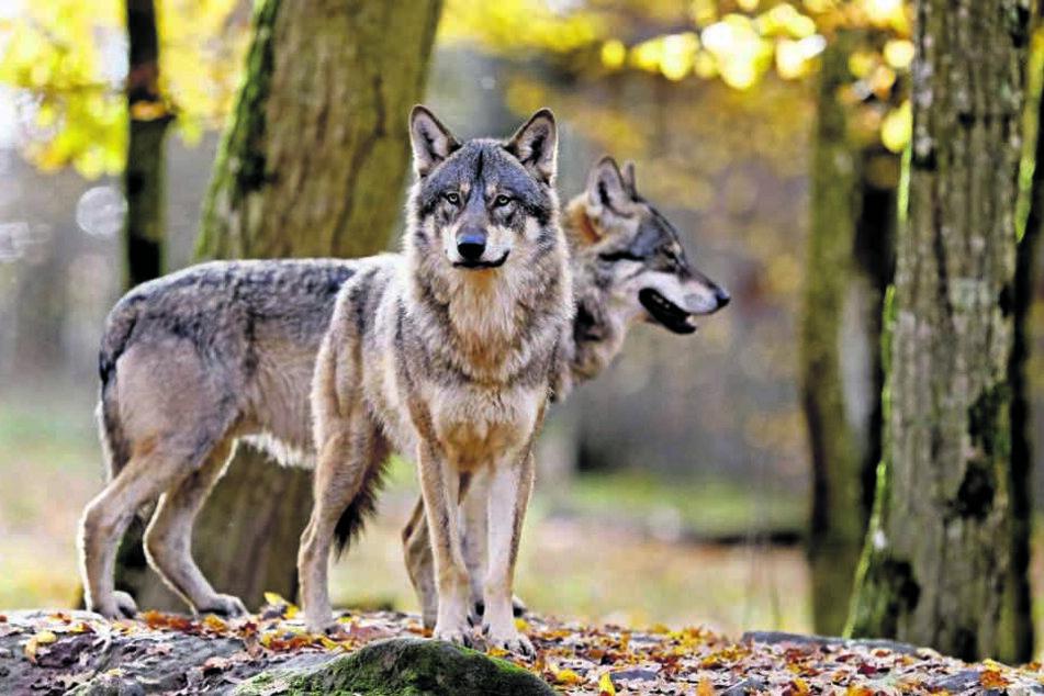 Die Wölfe erreichen das Kanzleramt: Der Umgang mit dem möglichen Abschuss der Raubtiere soll dort geregelt werden.