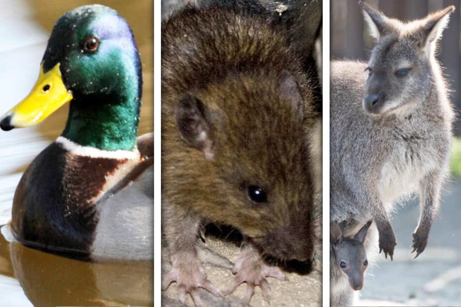 Enten, Ratten und sogar Kängurus: Wenn Menschen Tiere horten