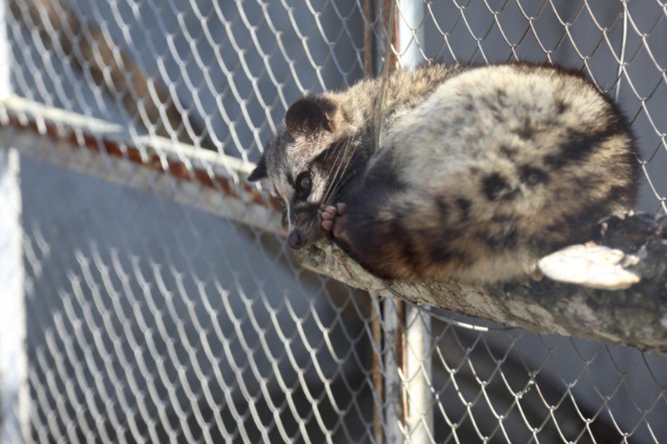 Nerze werden auf Farmen herangezüchtet, um ihr Fell für Pelzmäntel zu gewinnen. (Symbolbild)