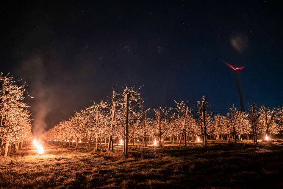 Fackeln gegen Frost: So sichern Landwirte blühende Obstbäume vor Schäden