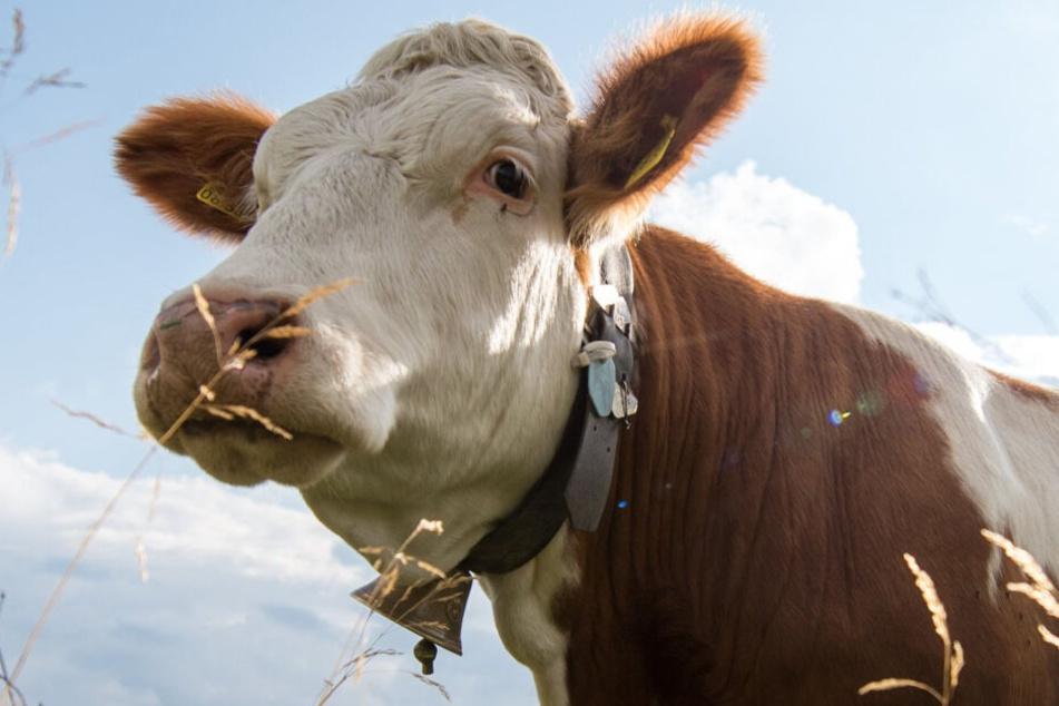 Eine Frau aus Oberbayern regt sich über das Gebimmel der Kuhglocken auf und klagt dagegen. (Symbolbild)