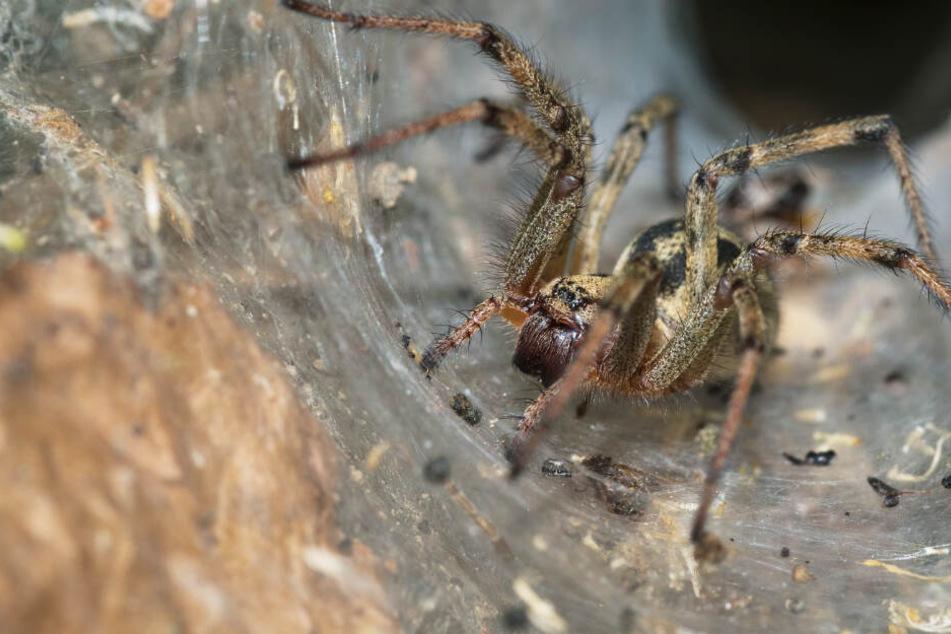 Ausgerechnet diese gefährliche Spinne profitiert von den Feuern in Australien