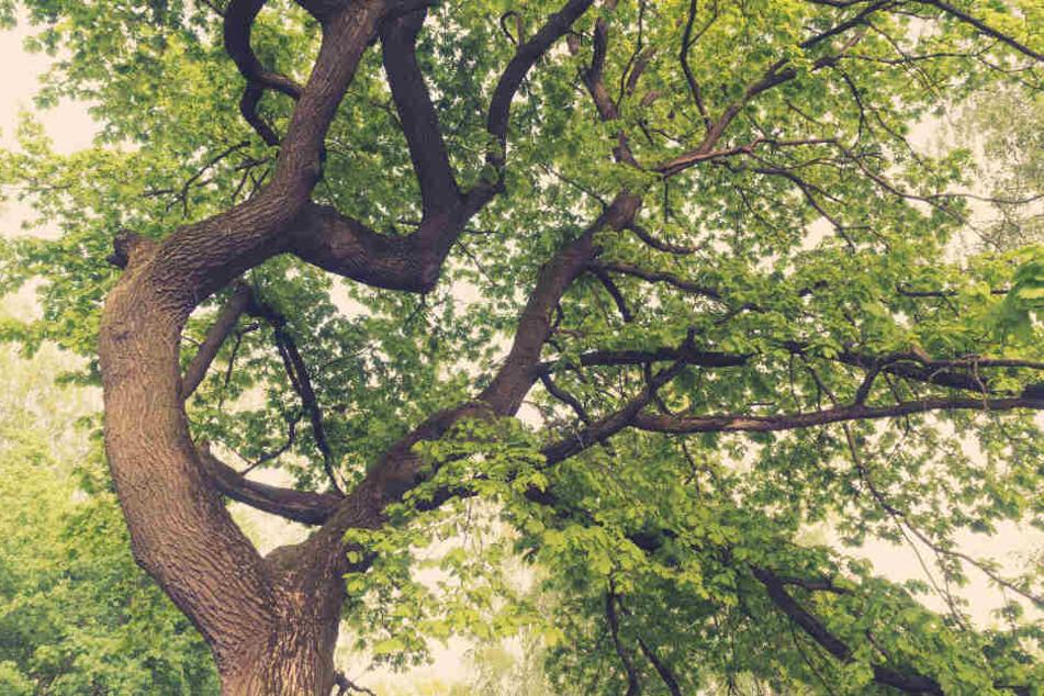 Unter Bäumen lauert eine große Gefahr. (Symbolbild)