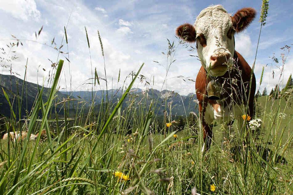 Die trächtige Kuh wurde von einem unbekannten Täter bestialisch zugerichtet.