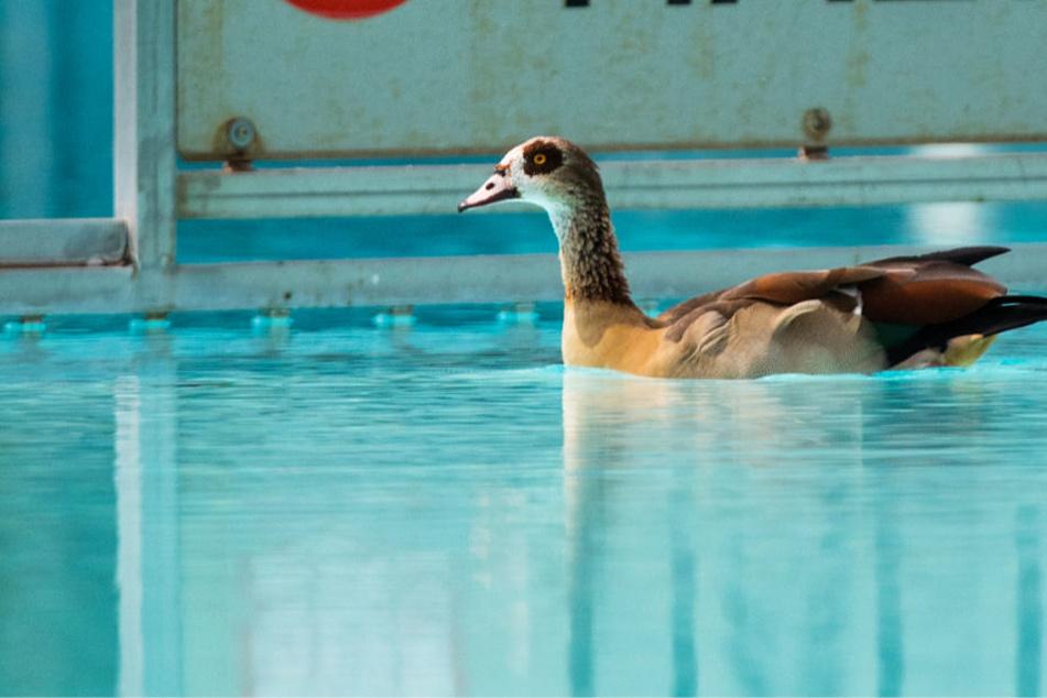 Die ursprünglich aus Nordafrika stammenden Vögel hatten das Frankfurter Freibad in Massen bevölkert.