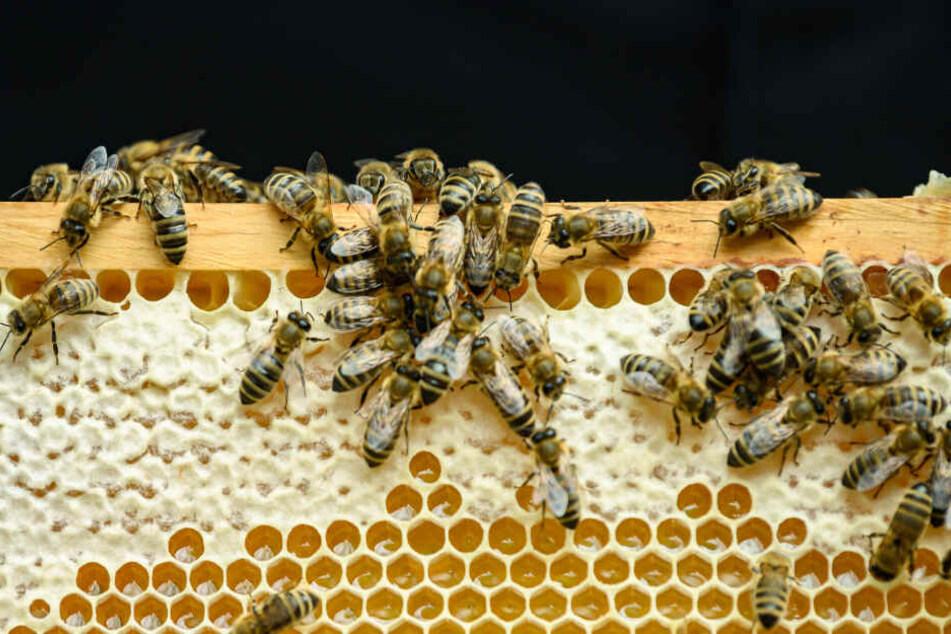 Mit besonders viel Honig kann sich der Imker den Sommer nun nicht mehr versüßen.