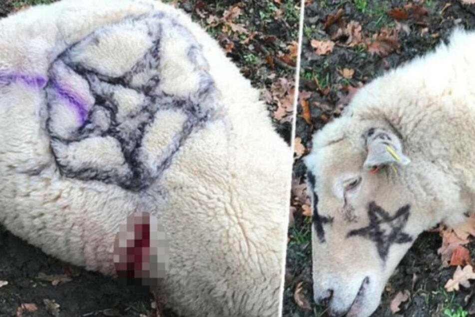 Tote Schafe mit Pentagrammen gefunden: Ganzer Ort in Angst vor Satanisten!