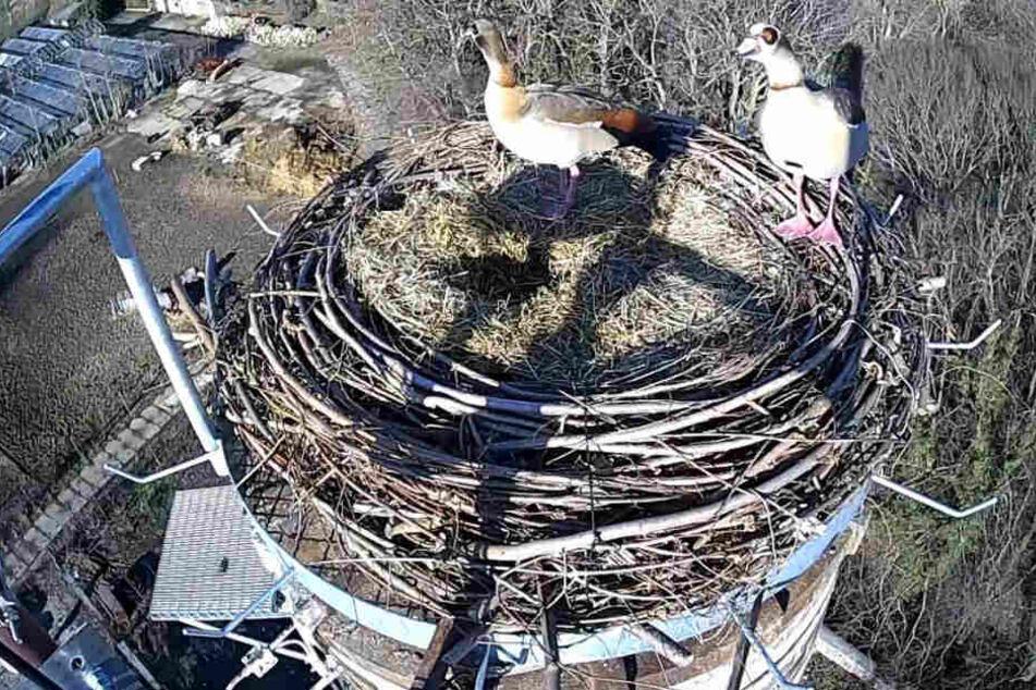 Auf frischer Tat von der Webcam ertappt: Zwei Nilgänse machen sich in einem Horst in Frohburg breit.