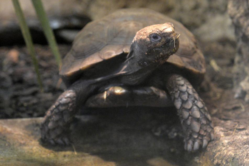 Tierischer Besuch: Schildkröte büxt aus und landet auf Polizeirevier