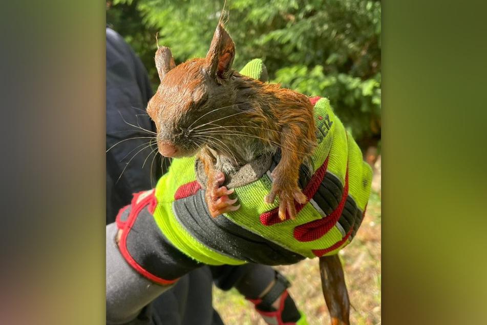 Die Leverkusener Feuerwehr hat zwei Eichhörnchen aus einem Fallrohr gerettet.