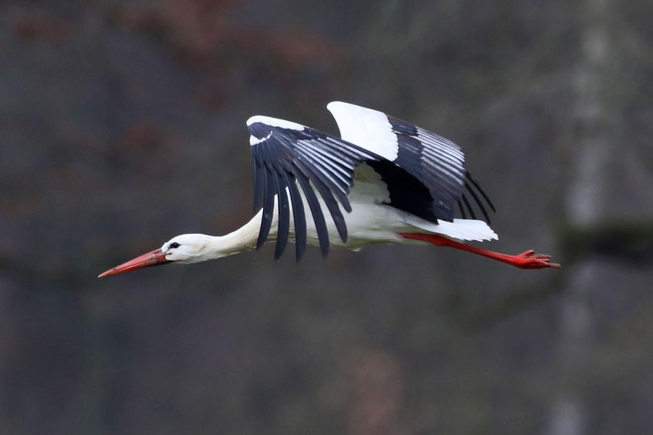 Der Waldenburger Adebar flog am Mittwochmorgen an den Wiesen im Grünfelder Park ein.