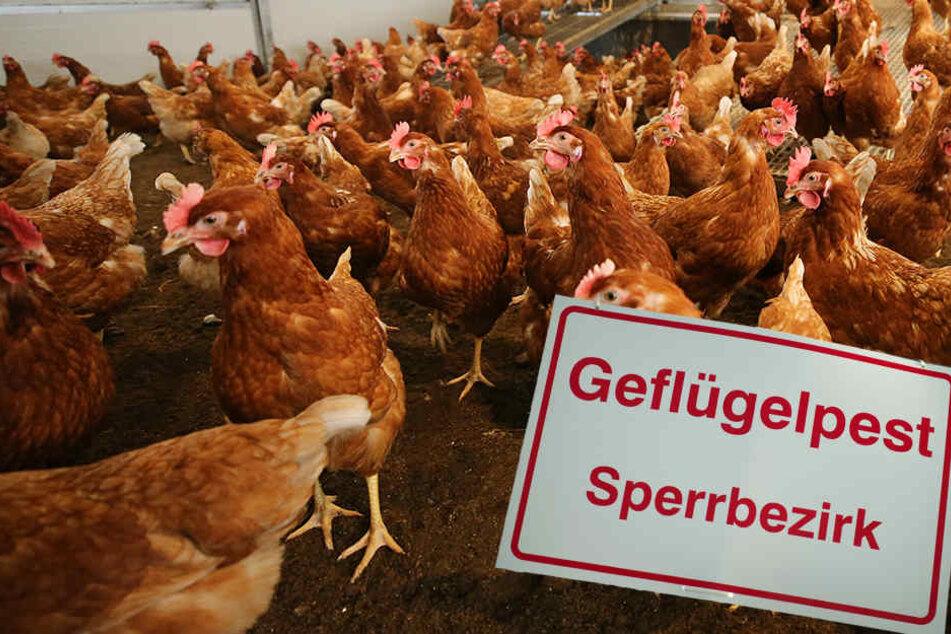 In Thüringen gilt wegen der Vogelgrippe eine landesweite Stallpflicht.