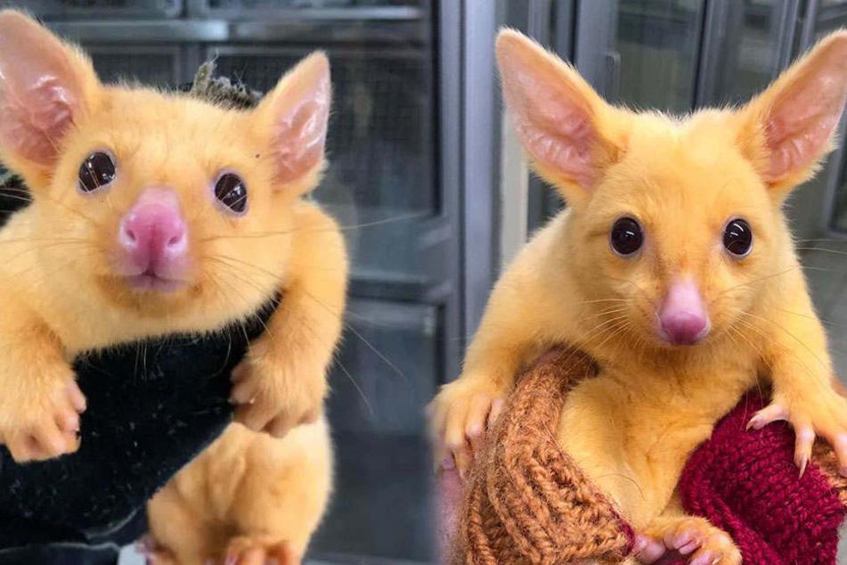 "Das süße Opossum-Baby sieht aus wie ""Pikachu""."