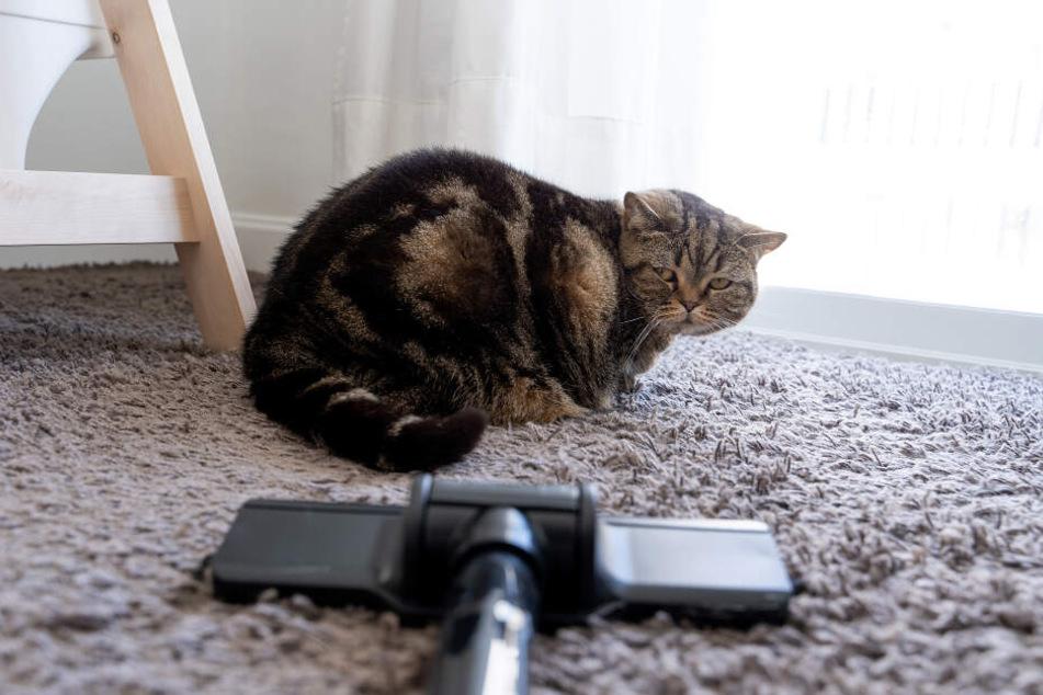 Am besten werden Katzen so früh wie möglich behutsam an laute Haushaltsgeräte gewöhnt.