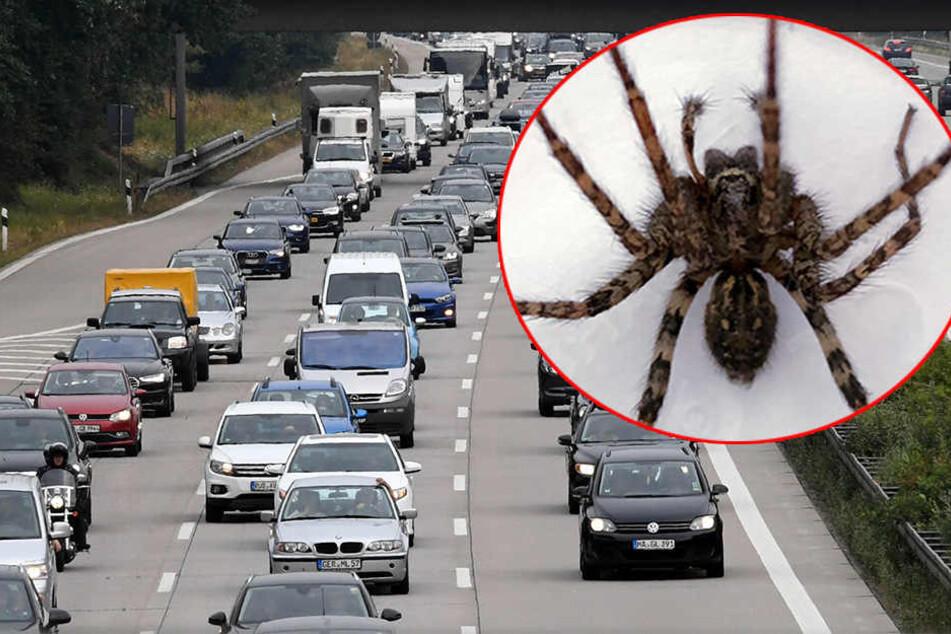 Eine junge Dame hielt aus Furcht vor einer Spinne ihren Pkw mitten auf der Autobahn an und flüchtete aus ihrem Wagen.