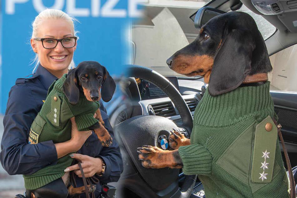 In Bayern... Dackel Olga trägt Frauchens Polizeiuniform