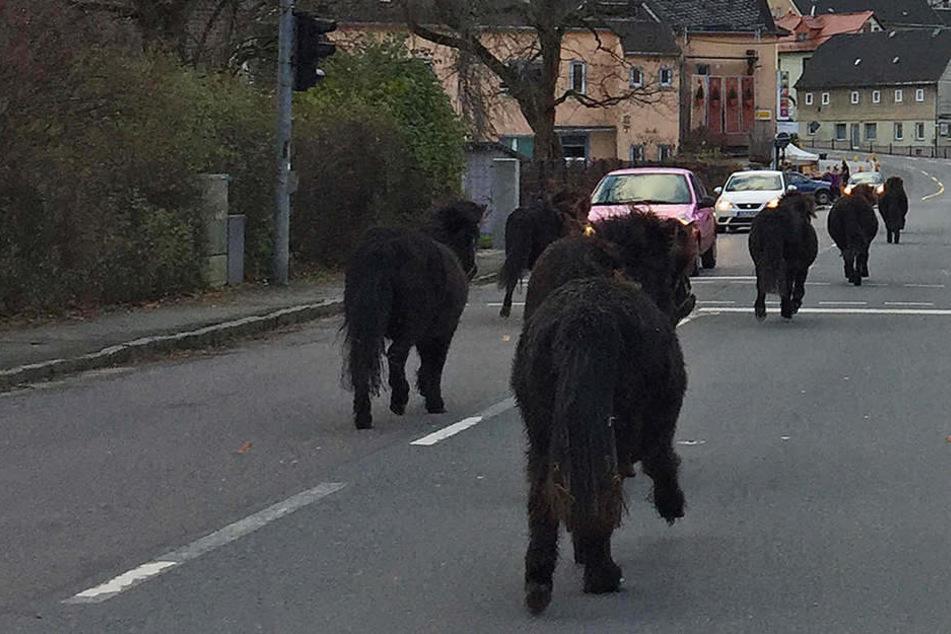 Ponys galoppieren durch Ort: Jetzt ist klar, wo sie herkamen