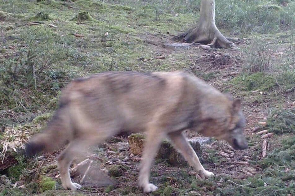 Der Wolf, der durch den Nordschwarzwald zieht, wurde auf einer Fotofalle festgehalten.
