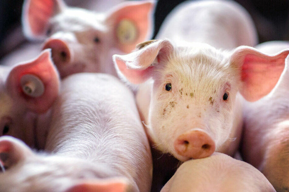 So will NRW das Leben der Nutztiere besser machen