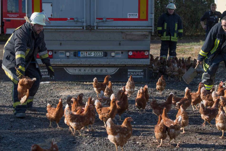 Rund 500 Hühner überlebten das Feuer.