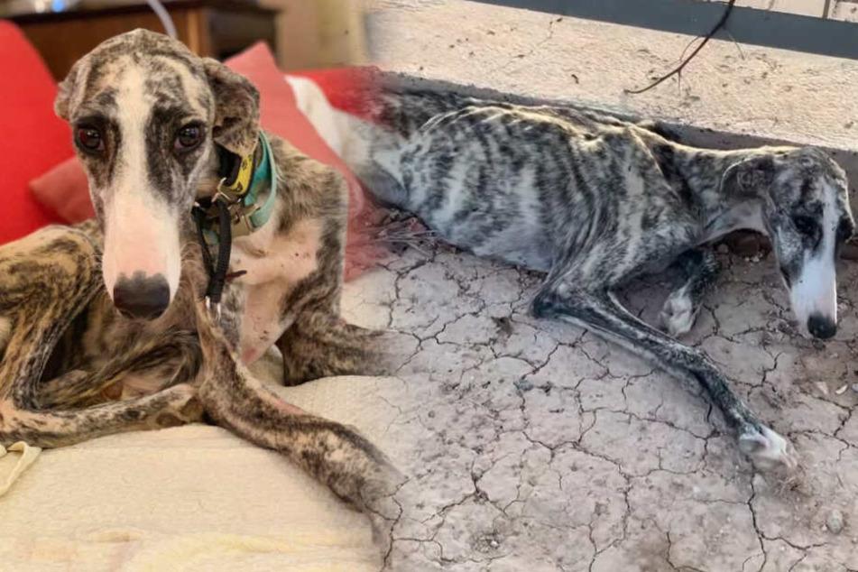 Hund wird völlig abgemagert auf Straße gefunden, doch dann ändert sich sein Leben