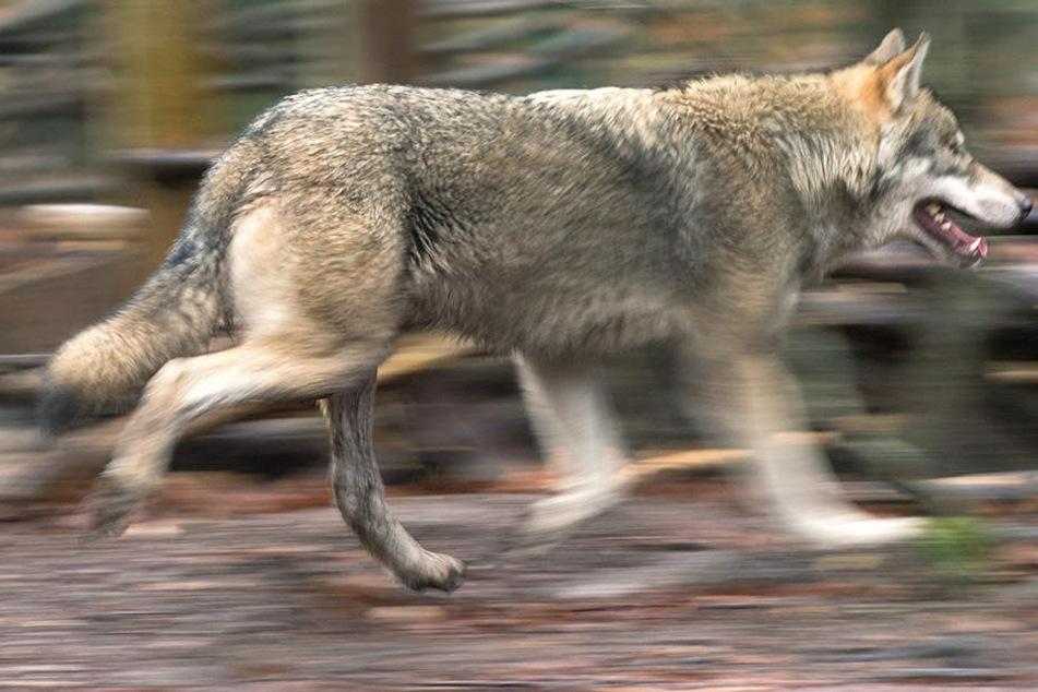 Ein Wolf musste in Sachsen erschossen werden.