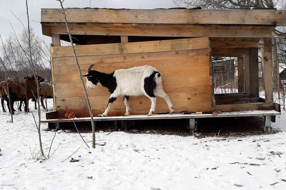 Die Ziege wohnt jetzt im Streichelzoo mit ein paar Artgenossen.