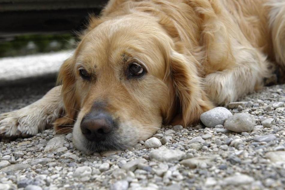 Ein ausgebüxter Hund rannte am Dienstagvormittag auf der B6 vor ein Auto. In Folge der Kollision verstarb der Vierbeiner (Symbolbild).