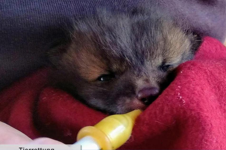 In der Wildtier-Station bekam das kleine Fuchs-Mädchen erst einmal ein Fläschchen Milch.