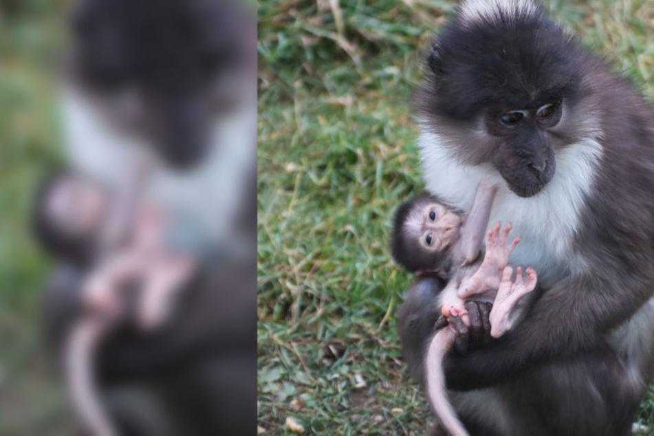 Vom Aussterben bedroht: Seltene Affenart bekommt süßen Nachwuchs