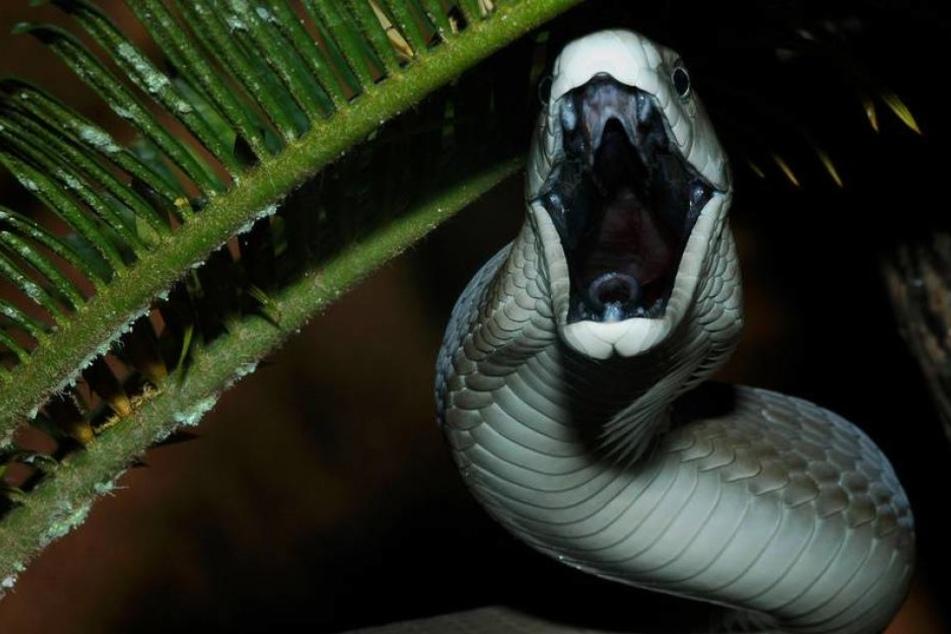 Die Kobra war nach Angaben der Polizei circa zwei Meter lang. (Symbolbild)